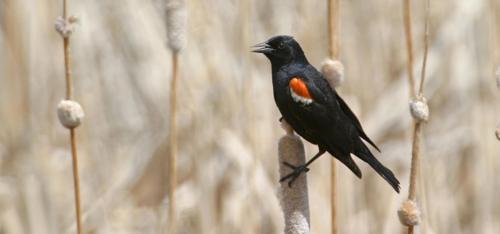 Saving the Tricolored Blackbird