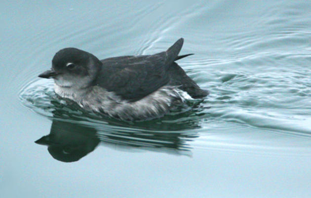 Now is a great time to ask fisheries managers to protect food for California seabirds