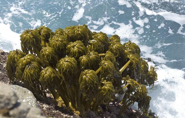 The Fight for Marine Algae