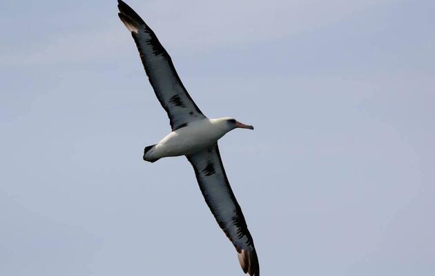 California congressman introduces bill to reduce seabird deaths