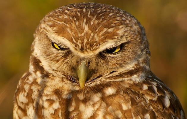 Burrowing Owl named Audubon California's  2013 Bird of the Year
