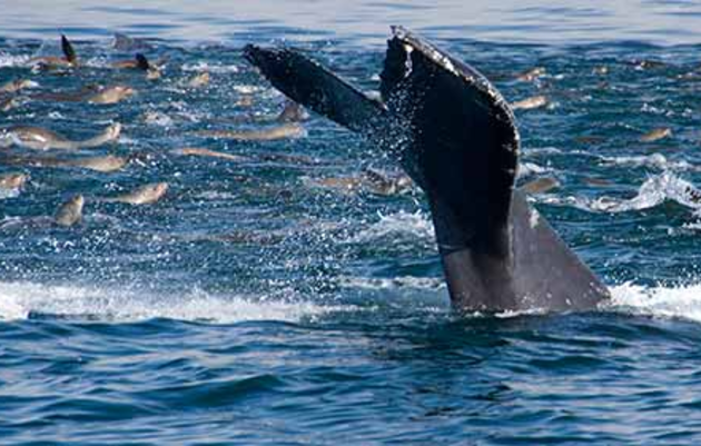 Seabird and marine mammal feeding frenzy in Monterey Bay