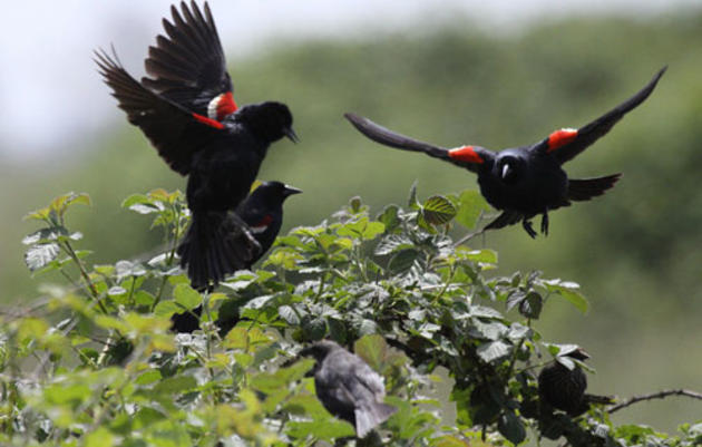 Protocol - Tricolored Blackbird Winter Survey
