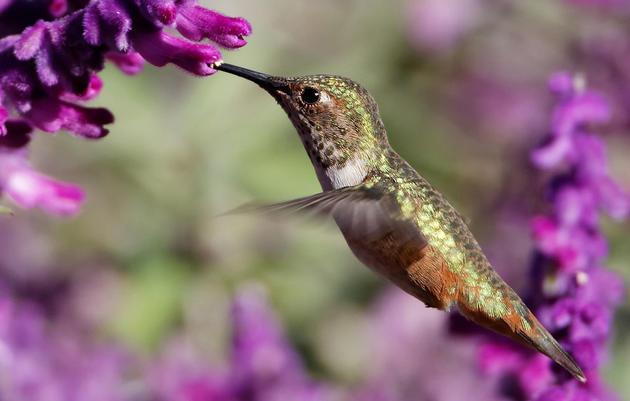 Allen's Hummingbird named 2014 Bird of the Year