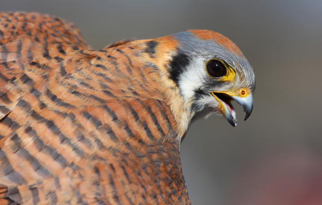 California's climate threatened and endangered birds