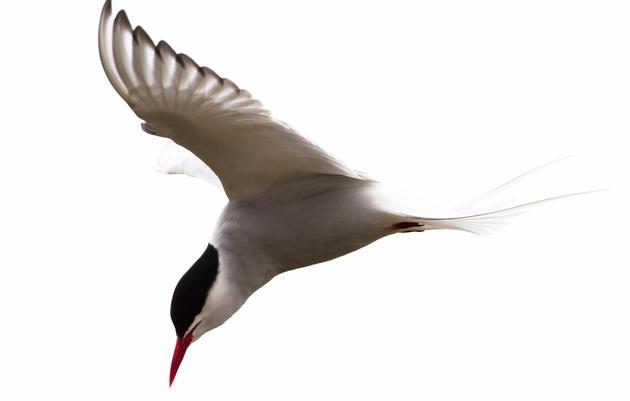 The Arctic Tern's Prayer