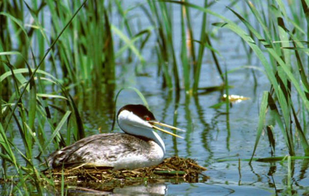 Grebe Conservation Project