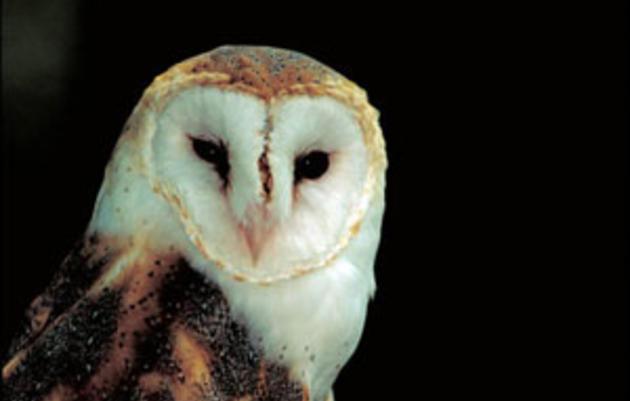 Barn Owl named Audubon California's 2010 Bird of the Year