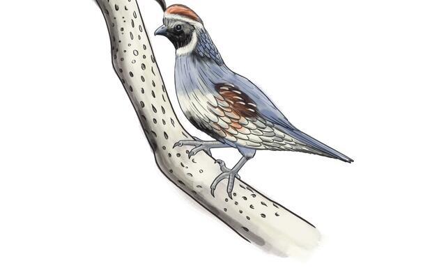 Torres-Martinez Desert Cahuilla Common Birds Guide