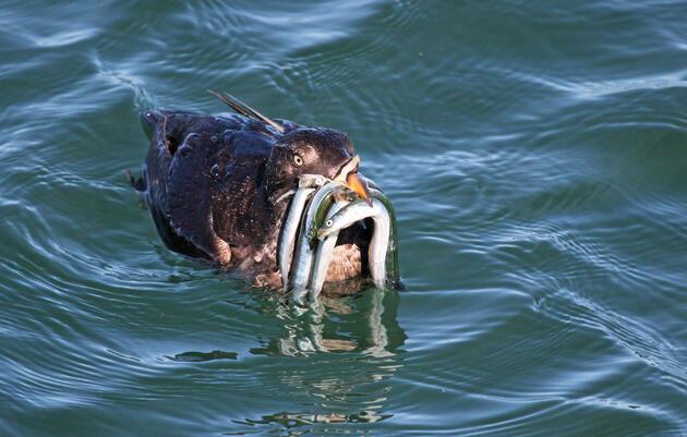 Keep food in the ocean for seabirds