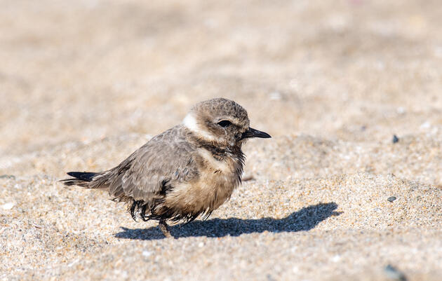 Huntington Beach Oil Spill Fouls Beaches Home to Federally Threatened Snowy Plovers