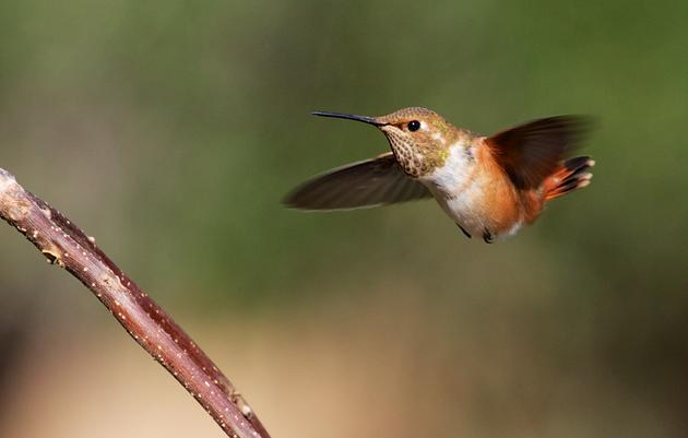 Allen's Hummingbird and global warming