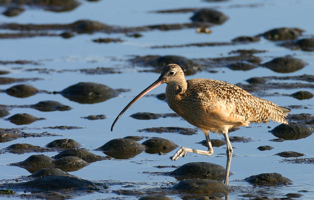Long-billed Curlew and global warming