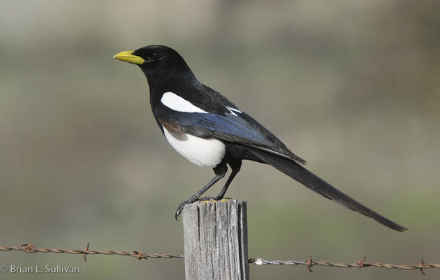 Yellow-billed Magpie and global warming