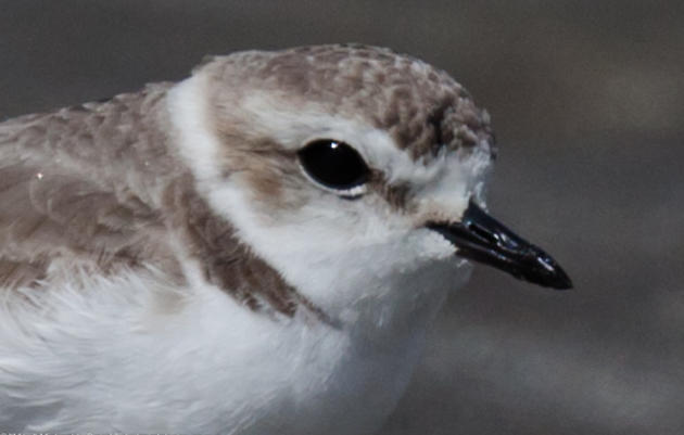 Western Snowy Plovers: The gift