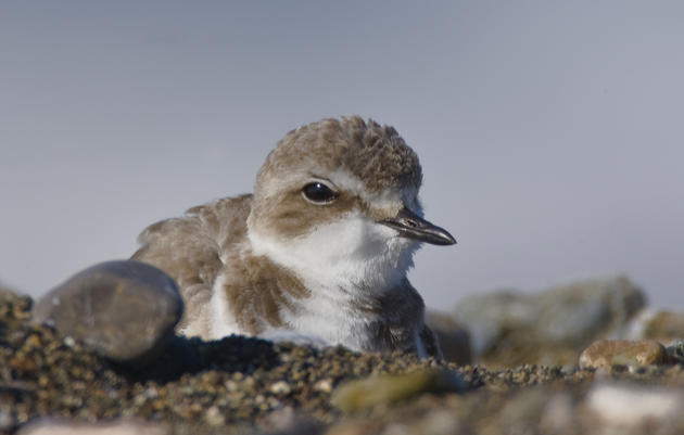 Volunteer to help the Western Snowy Plover