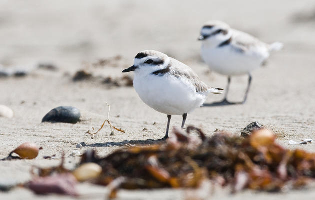 Western Snowy Plovers in California