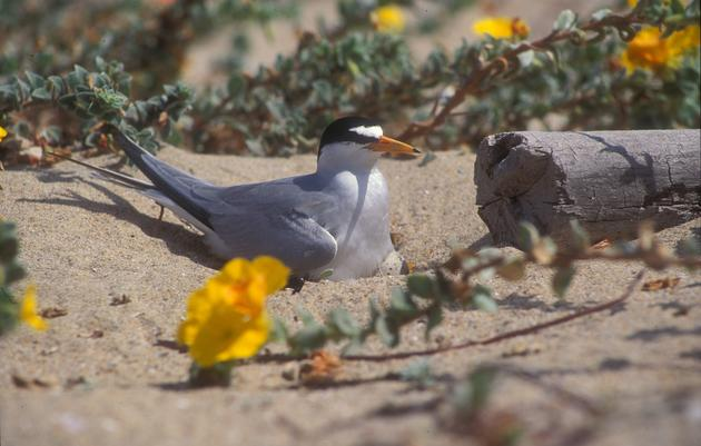Endangered birds nest at Malibu Lagoon Beach