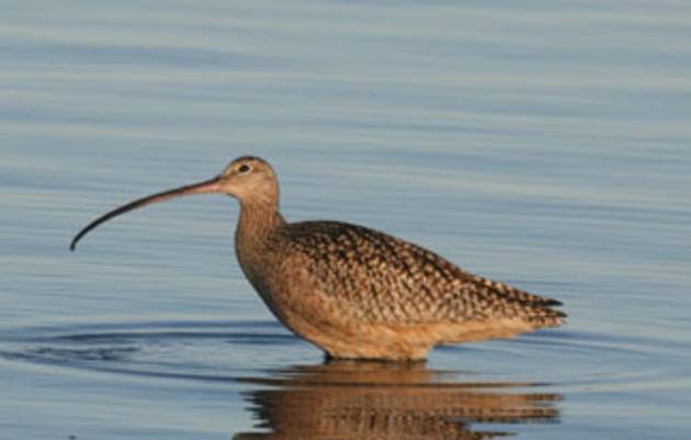 Make a Home for the Long-billed Curlew