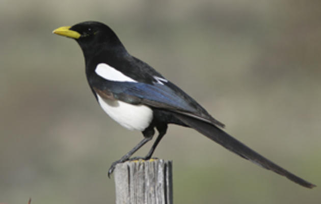 Yellow-billed Magpie named Audubon California's 2009 Bird of the Year