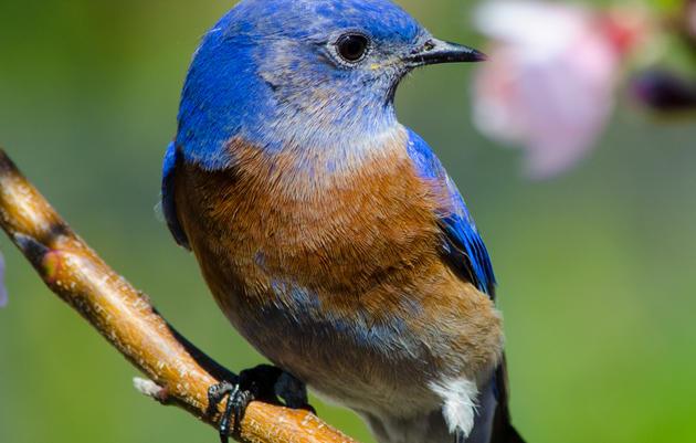 Western Bluebird wins Audubon California's 2015 Bird of the Year