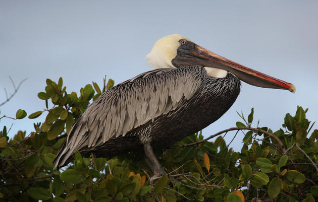 Reporting Blue- and Green-banded Brown Pelicans