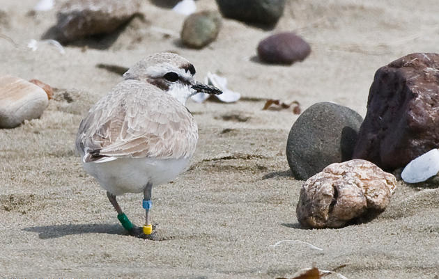 Watch for banded Western Snowy Plovers