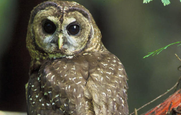 Northern Spotted Owl named Audubon California's  2016 Bird of the Year