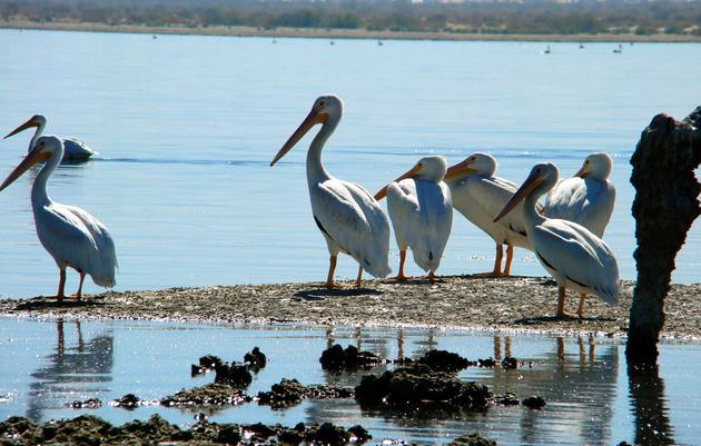 Audubon's role at the Salton Sea