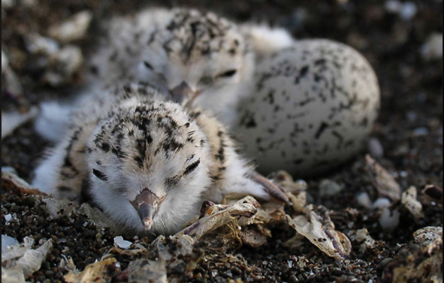 Los Angeles Audubon seeking funds to sustain critical program for Western Snowy Plovers