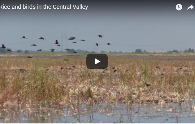 Working with rice farmers to help birds in the Central Valley