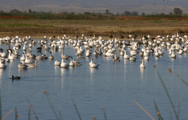 Bill defending California's migratory birds passes critical Senate committee vote