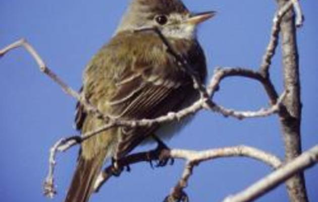 Speak up for the Southwestern Willow Flycatcher