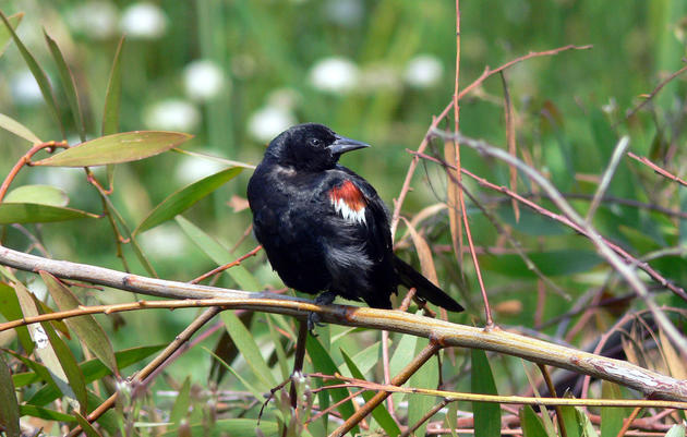 State officials recommend endangered species protections for Tricolored Blackbird