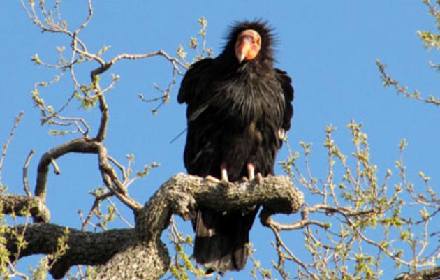 California Condor named Audubon California's 2011 Bird of the Year