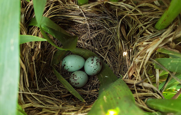 How Private Landowners Can Save Tricolored Blackbirds