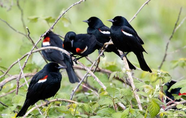 Tricolored Blackbird Recovery Imperiled