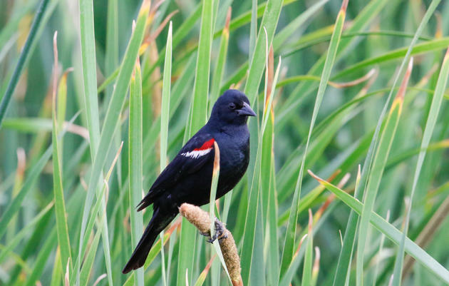 Nearly 75,000 Tricolored Blackbirds protected in 2017