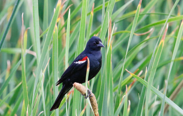 Victory! 170,000 Tricolored Blackbirds saved in 2021