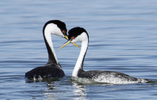Western Grebe conservation