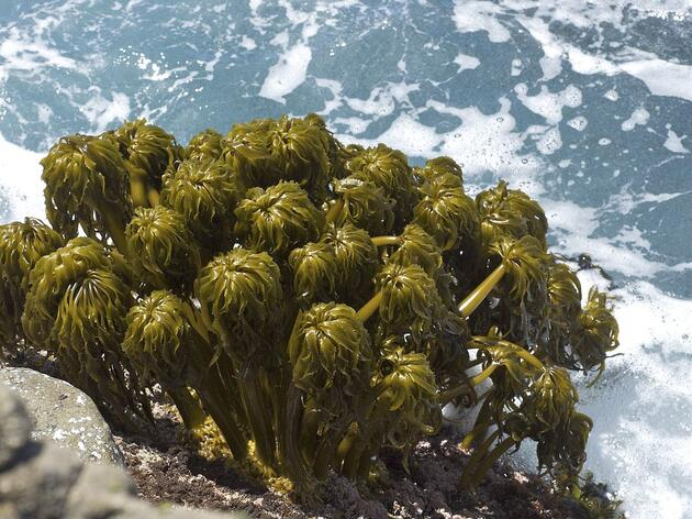 The Fight for Marine Algae