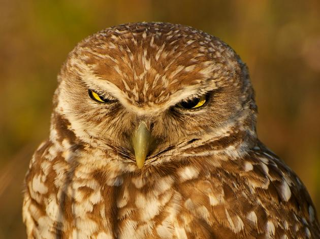 Burrowing Owl named 2013 Bird of the Year