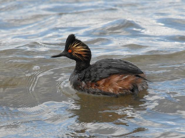 Have you 'eared? Eared Grebes need a healthy Salton Sea