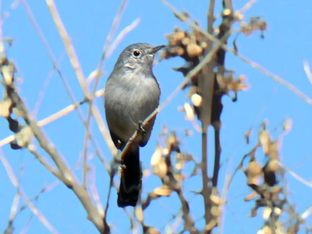 Coastal California Gnatcatcher saved from endangered species delisting attempt