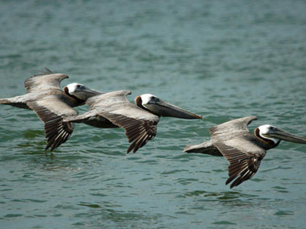 Audubon network helping Pacific Brown Pelicans