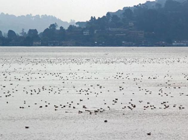 Highlighting importance of open water habitat for birds in San Francisco Bay