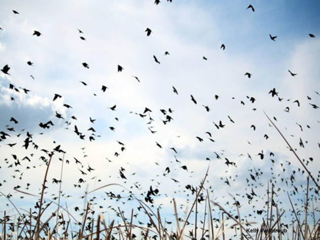 Fish and Game Commission to consider second emergency listing for Tricolored Blackbird