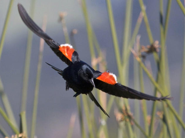 Federal protection sought for Tricolored Blackbird