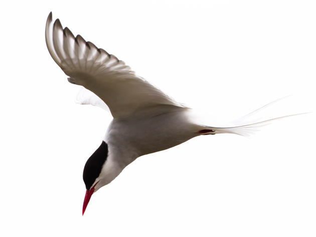 The Arctic Tern's Prayer