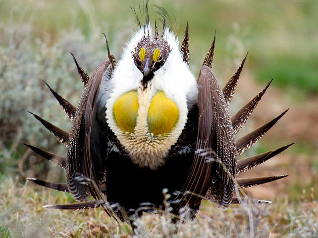 Bi-State Population of the Greater Sage-Grouse Battle for Mates and Federal Protection